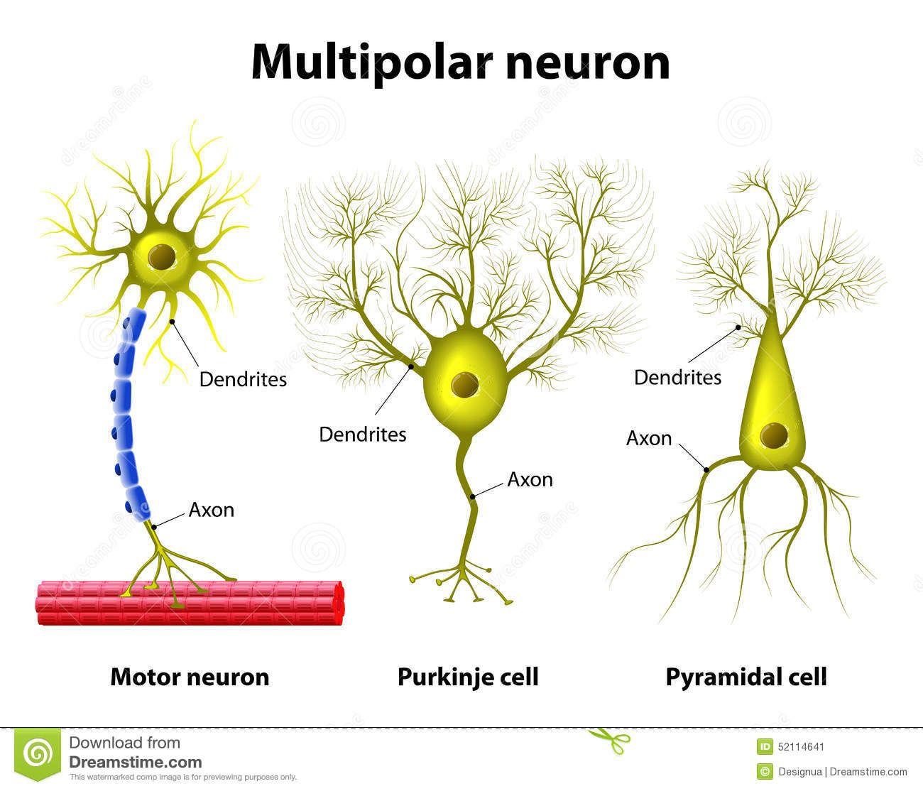 Resultado de imagen de neuronas multipolares